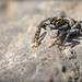 Jumping spiders rock