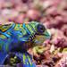 Colorful Mandarin Dragonet