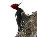 Robust Woodpecker (Campephilus robustus)
