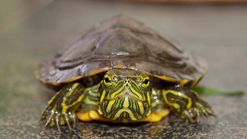 Red Eared Slider Turtle He has the coolest markings... I w ...