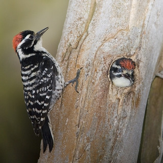 Nuttall's Woodpecker (Picoides nuttallii) parent with chick Nuttall's--woodpecker-family_G | by mikebaird