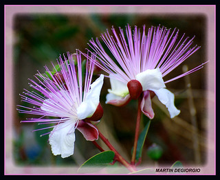 FLOWERS OF CAPERS | by martin.degiorgio