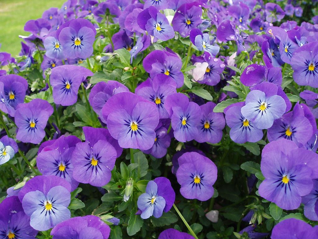 Violas Violas New York Botanical Garden Don Sutherland