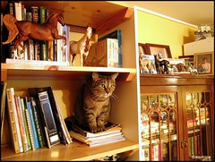 The Bookshelf Cat | by appaIoosa
