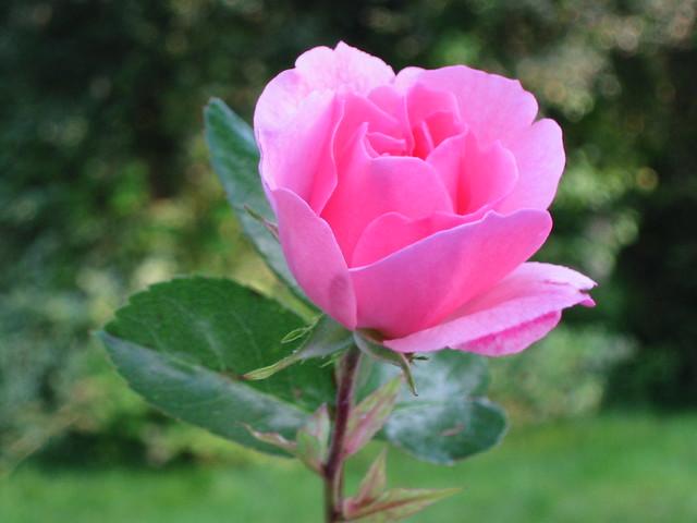 pink rose amp garden backdrop rose taken from a rose bush