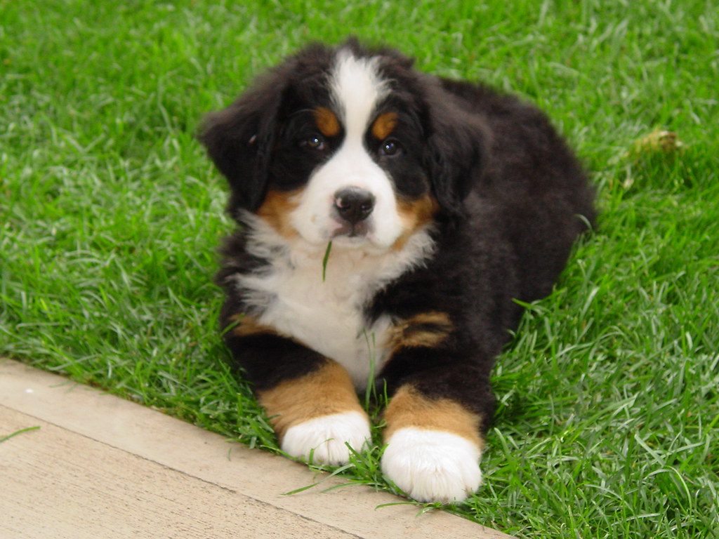 Bernese Mountain Dog Puppy For Sale Ny
