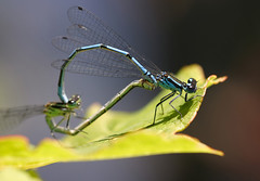 Damselflies mating | by Lord V