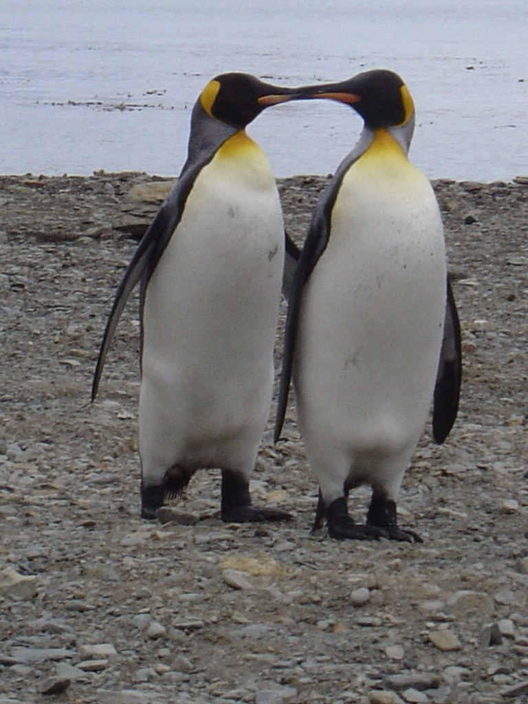 Aninimal Book: Kissing Penguins | This picture has not been altered at ...