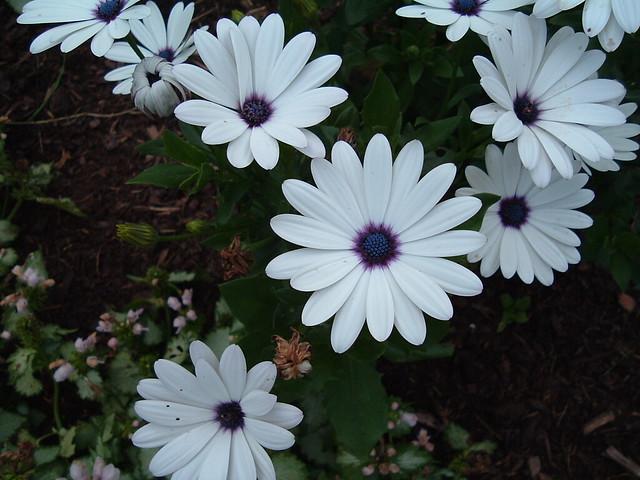 White flowers white daisy like flowers with blue center white flowers by rubyrubyf white flowers by rubyrubyf mightylinksfo