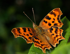 comma butterfly | by Lord V