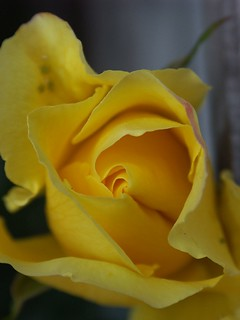 Golden Shower Rose | by Mark E