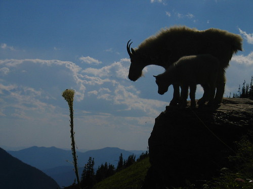 Mountain Goats In Silhouette | by djgoldberg