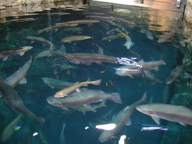Lake Superior Fish Flickr Photo Sharing