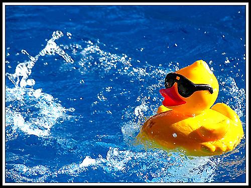 Yellow Duck | Gaëtan Bourque | Flickr | 500 x 375 jpeg 103kB