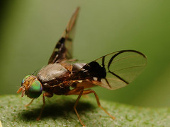 small fruit fly Anomoia purmunda  doing it's mating dance | by Lord V