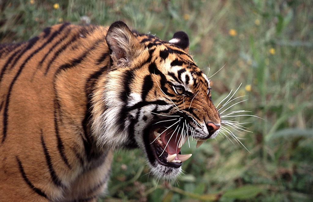 tiger snarl | A tiger from the big cat day last summer, I