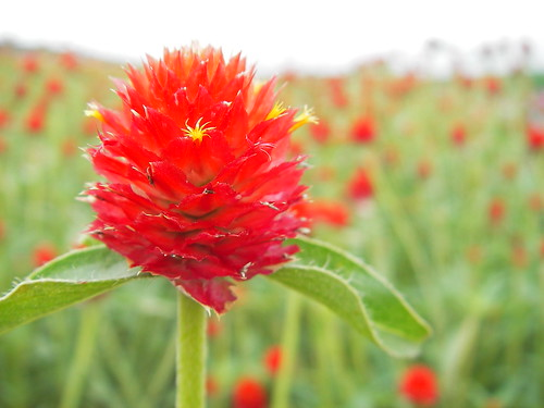 a globe amaranth | by yoppy