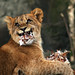Lion cub with chicken, Artis zoo