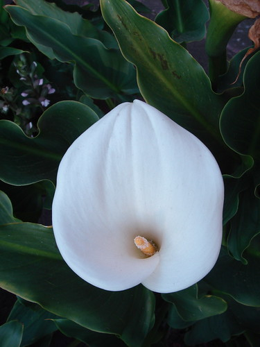 Calla Lilly Alcatraz 2 | by pedro vit