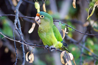 Orange-fronted parakeet | by C Wood