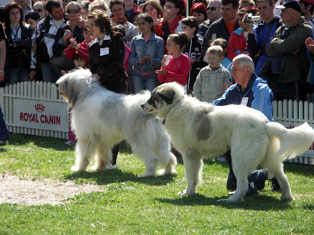 Dog Shows 2007 Beautiful Romanian Shepherd Dogs The One