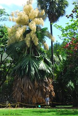 Talipot Palm | by Pink Hibiscus