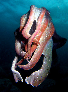 giant cuttle | by doug.deep