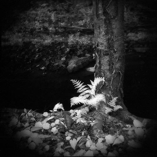 IR Fern taken with a Holga | by eye of wally