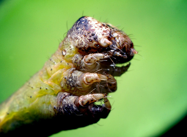 Caterpillar Face | Thomas Shahan | Flickr