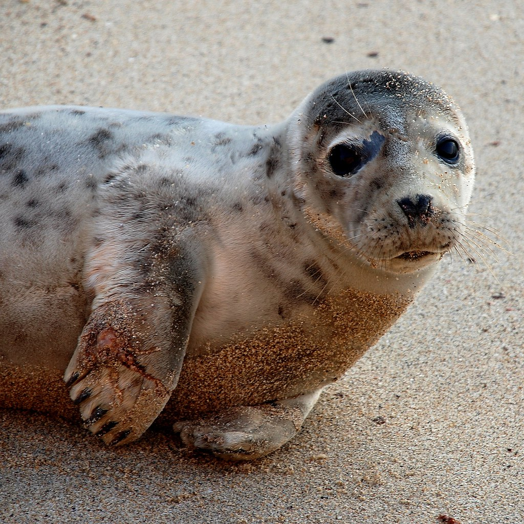 young seal | We called the seal sanctuary, but it slipped ...