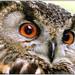 Horned Owl (Bubo)