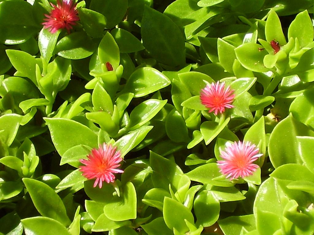 Aptenia Cordifolia Baby Sun Rose Ice Plant Nice Pink