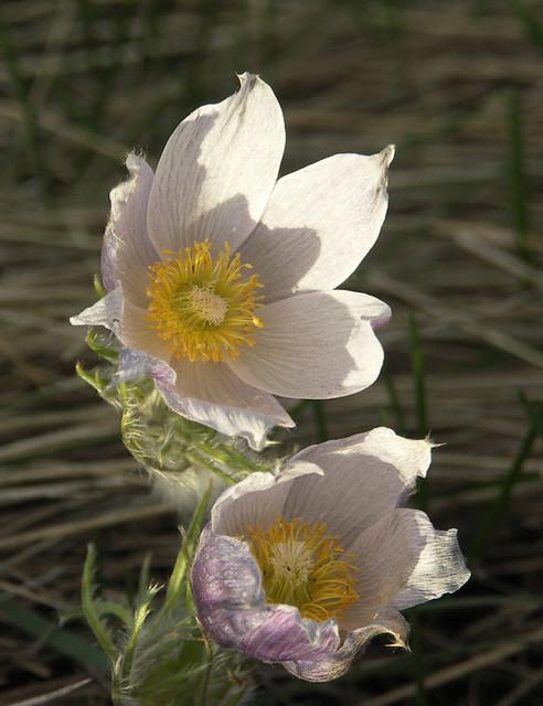 Prairie crocus - Collins Hill 2007