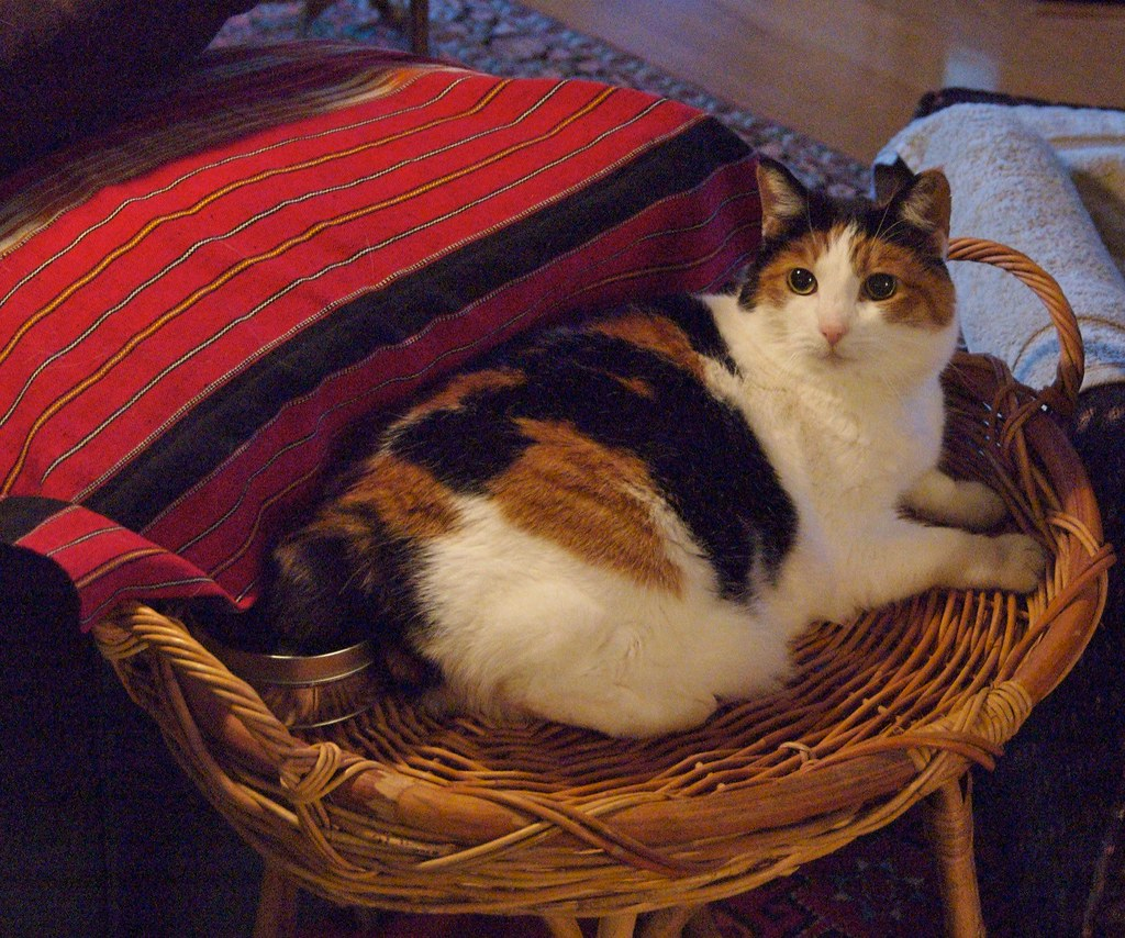 lucy relaxes lucy the manx cat relaxes after a long car. Black Bedroom Furniture Sets. Home Design Ideas
