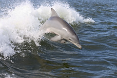 Dolphin Jumping in Wake | by The Pug Father