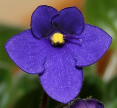 Violet | by Jeanie's Pics