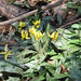 More trout lily