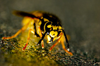 Wasp colors | by quinet