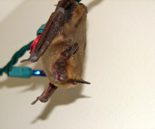 Christmas Bat This Is A Big Brown Bat Eptesicus Fuscus