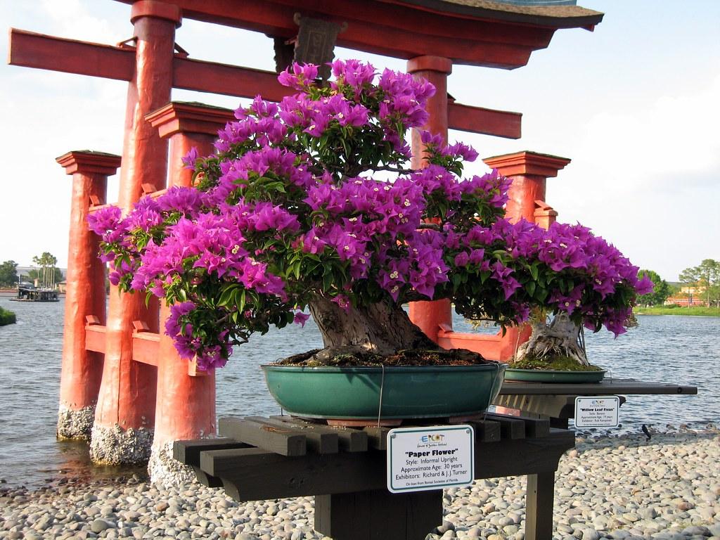 Bonsai bougainvillea stacey t flickr for Bougainvillea bonsai prezzo