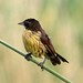Unicolored Blackbird - female  (Chrysomus cyanopus)