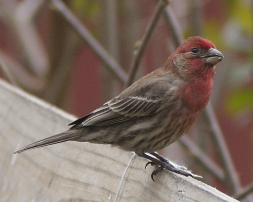 House finch | by Henry McLin