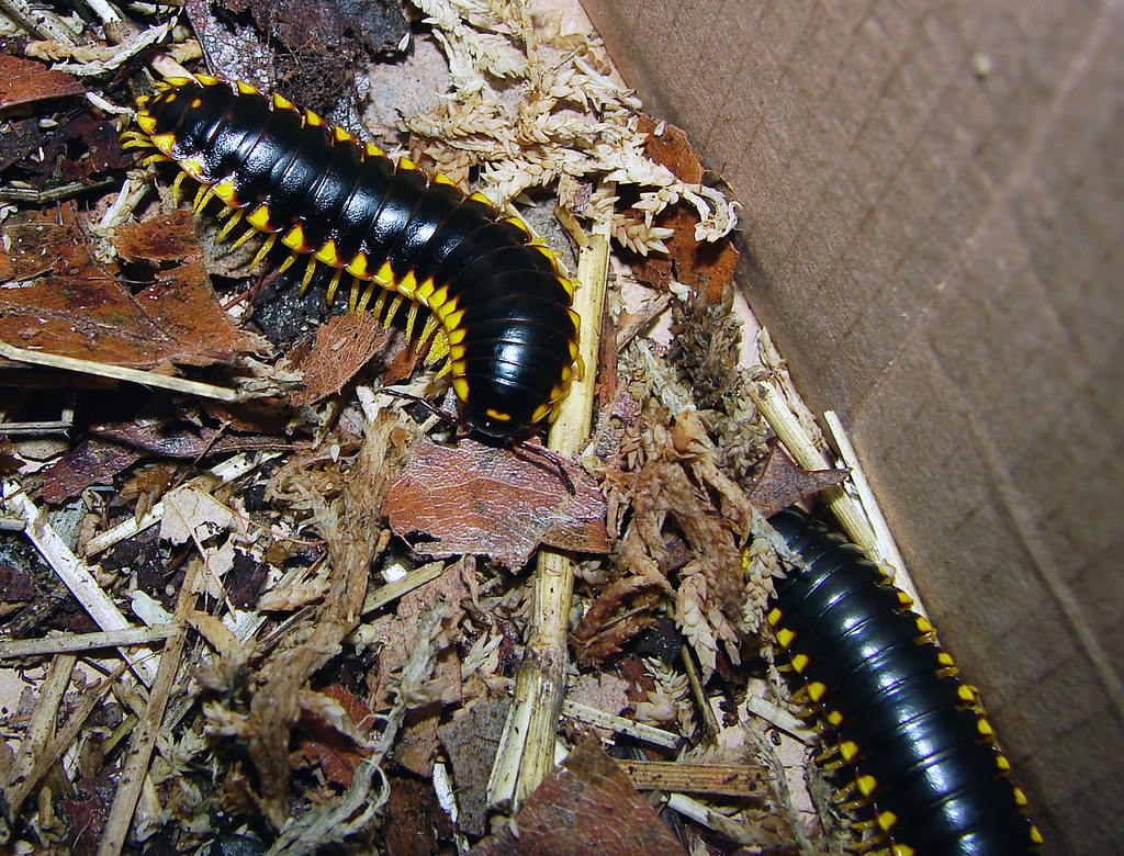 R Centipedes Poisonous Warning Colors | Aphel...