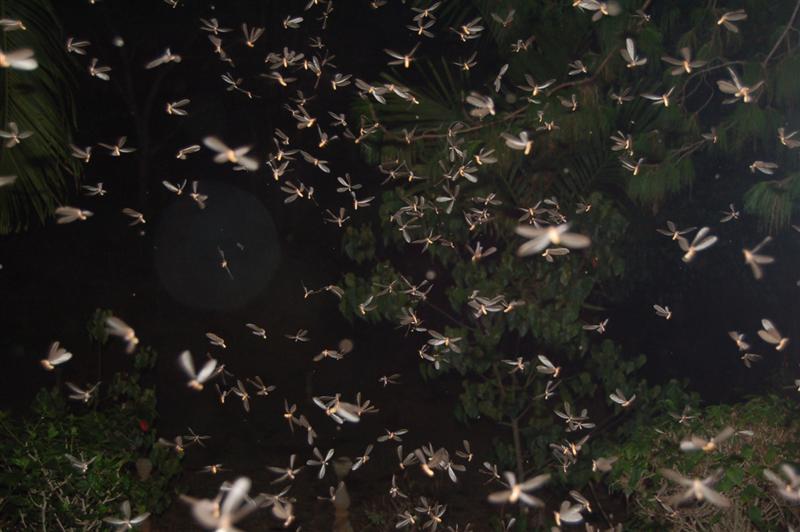 Flying Termites 1