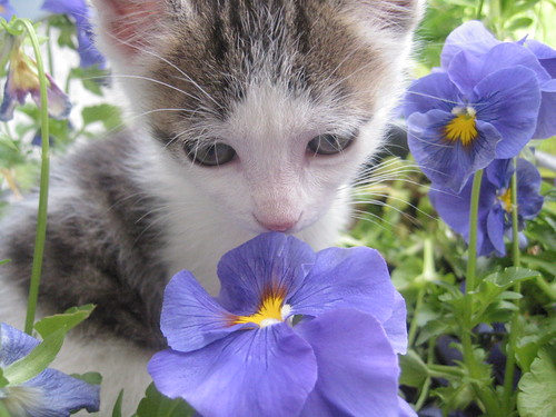 pierre in the pansies | by *lalalaurie