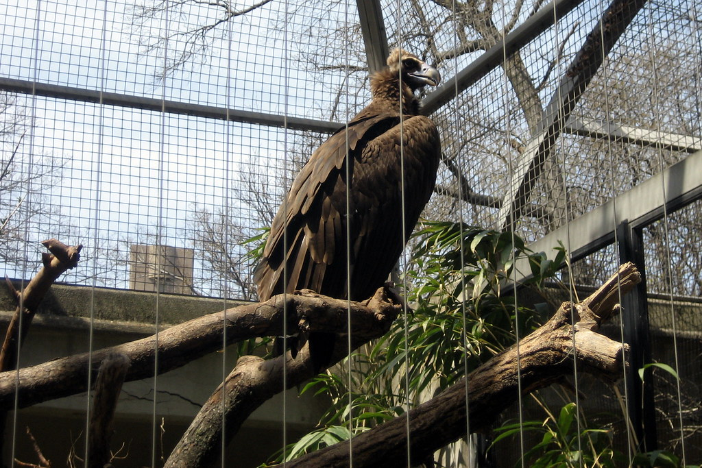 Nyc Bronx Bronx Zoo Birds Of Prey Cinereous Vulture
