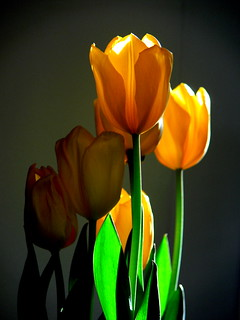 I Love Tulips.... | by Corbeau du Nord