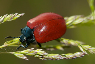 Red bug with exoskeleton | by *Mosi*