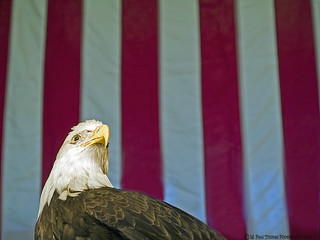 Eagle Stars & Stripes | by Drawings Of Light - Paul