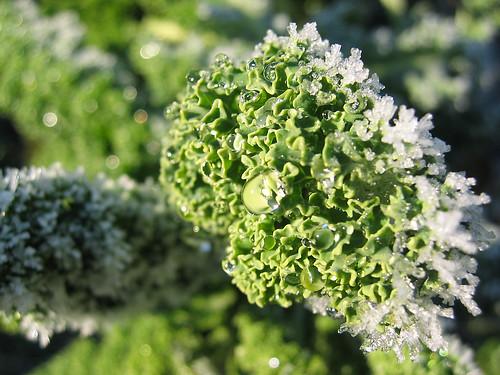 ice on kale brassica oleracea convar acephala var sabel. Black Bedroom Furniture Sets. Home Design Ideas